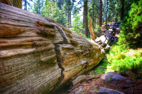 Een grote Sequoia in Amerika
