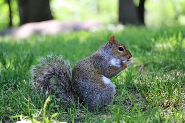 Central park eekhoorn