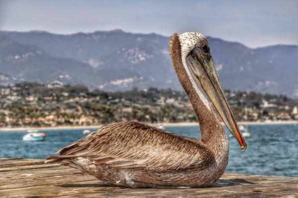 Pelikaan Santa Barbara