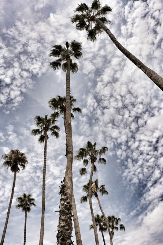 Santa Barbara palmbomen