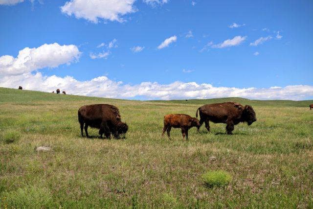 Custer State Park - dieren spotten tijdens de wildlife loop
